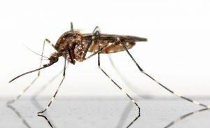 Vem fångar flest mygg